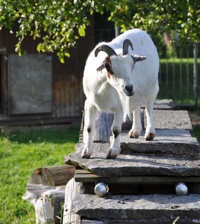 Gardent Goat Goat In A Swiss Garden Swiss White Goat