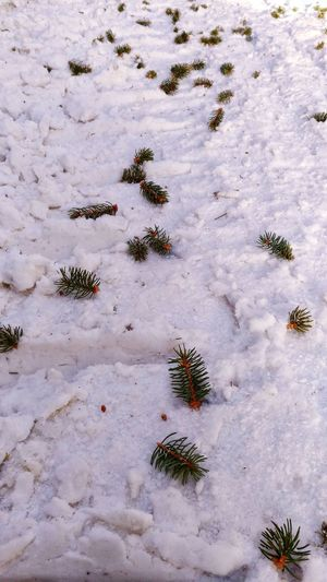 Snow and pinetree ...High Angle View Nature Outdoors Sand No People Day Animal Track Close-up Paw Print Arid Climate Cold Temperature Snow Mountain Tranquil Scene Idyllic Landscape Pinetrees🌲 Pinetree Pinetree Close Up Pine Cone Pineforest Pine Pine Forest Pine Woodland Snow ❄