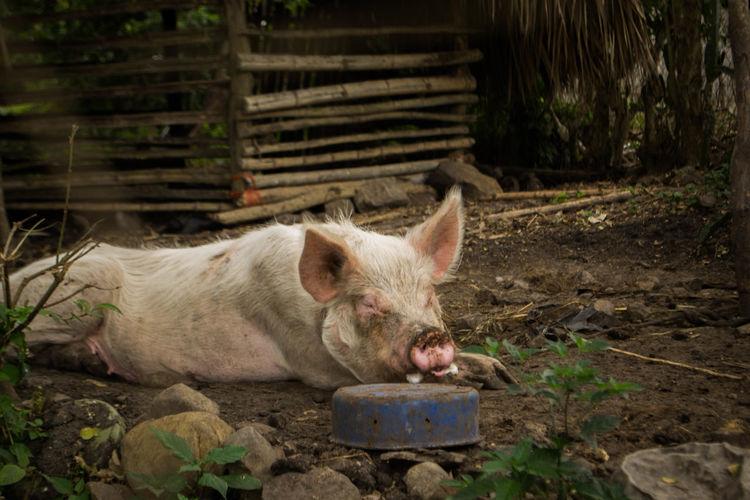 Pig Sleeping At Farm
