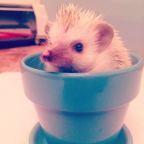 My baby Hedgie, Pippa Templeton Check This Out Cute Hedgehog Baby Animals Cute Pets Adorable Photogenic