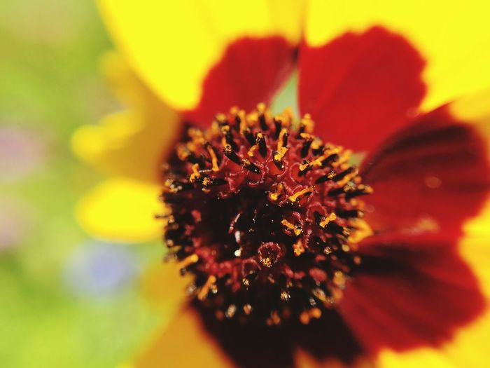 Flower Nature Beauty In Nature Flower Head Petal Fragility Close-up Pollen Freshness No People Growth Outdoors Plant Day Sunflower