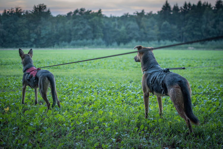 Dogs Standing On Field
