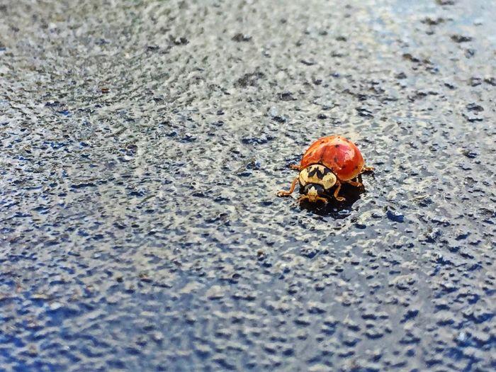 Ladybird Golden Knop Bugs