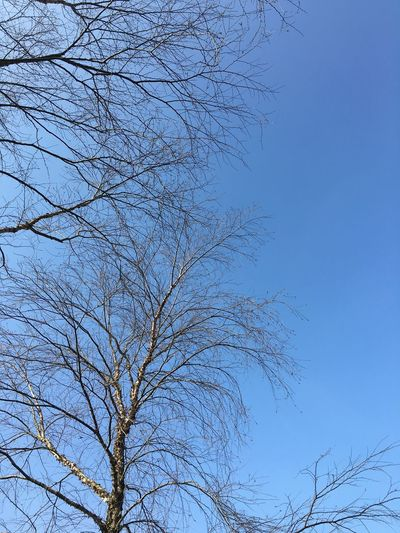 Bare Tree Beauty In Nature Blue Branch Branches Branches And Sky Clear Sky Day Growth High Section Low Angle View Majestic Nature No People Non-urban Scene Outdoors Remote Scenics Sky Tranquil Scene Tranquility Tree Tree Trunk Treetop WoodLand