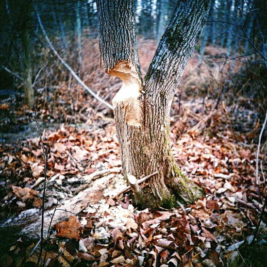 Nature Tree Tree Trunk Forest Outdoors Lca 120 Koduckgirl Film Photography Film Beaver Work
