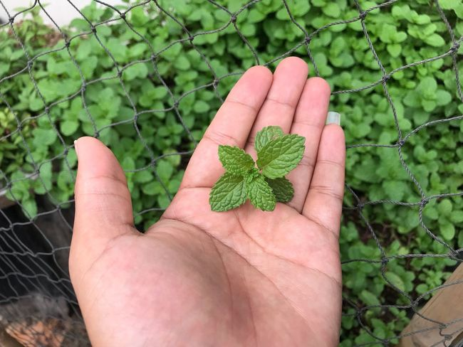 Human Hand Human Body Part Hand One Person Real People Plant Green Color