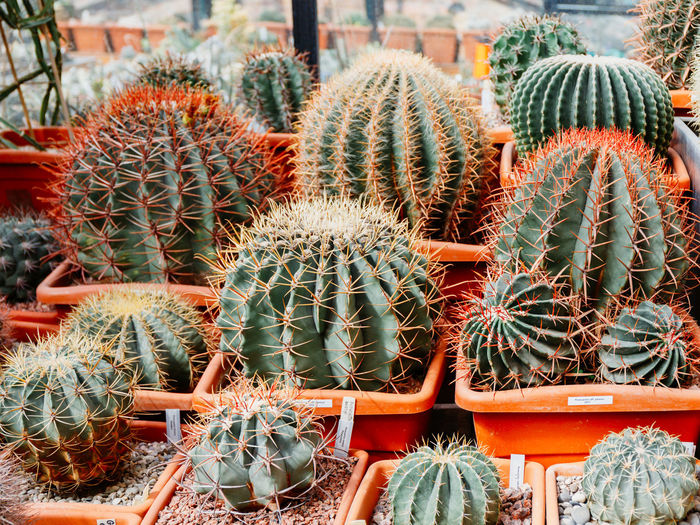 Cactus Succulent Plant Thorn Barrel Cactus Sharp Spiked Growth No People Plant Day Nature Green Color Potted Plant Close-up Beauty In Nature Outdoors Sign High Angle View Natural Pattern Full Frame Plant Nursery Flower Pot Ecosystem  Spiky