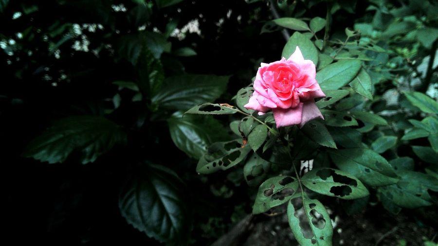 Close-up of pink rose blooming at park