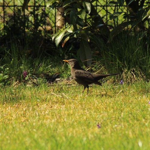 Beim Kamera Testen Im eigenen Garten gelandet Schnapschuss Bird Animal Themes Grass Plant