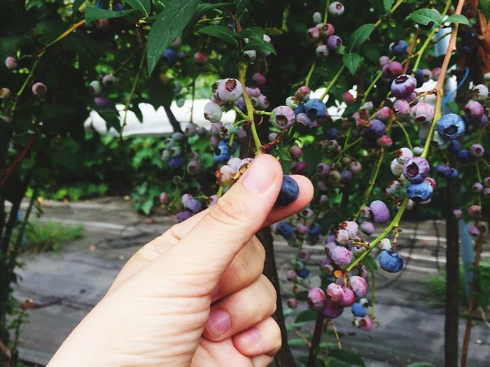 Cropped hand of person holding blueberry on plant