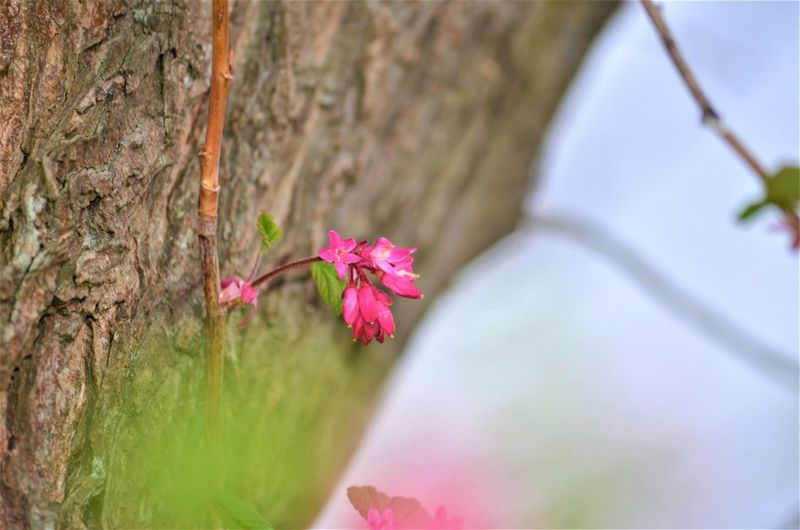 Plant Flowering Plant Flower Pink Color Close-up Tree Freshness Beauty In Nature Tree Trunk Growth Nature Trunk Fragility Vulnerability  Selective Focus Day No People Petal Focus On Foreground Branch Outdoors Flower Head Springtime Purple Cherry Blossom Nature By Tania Andreea