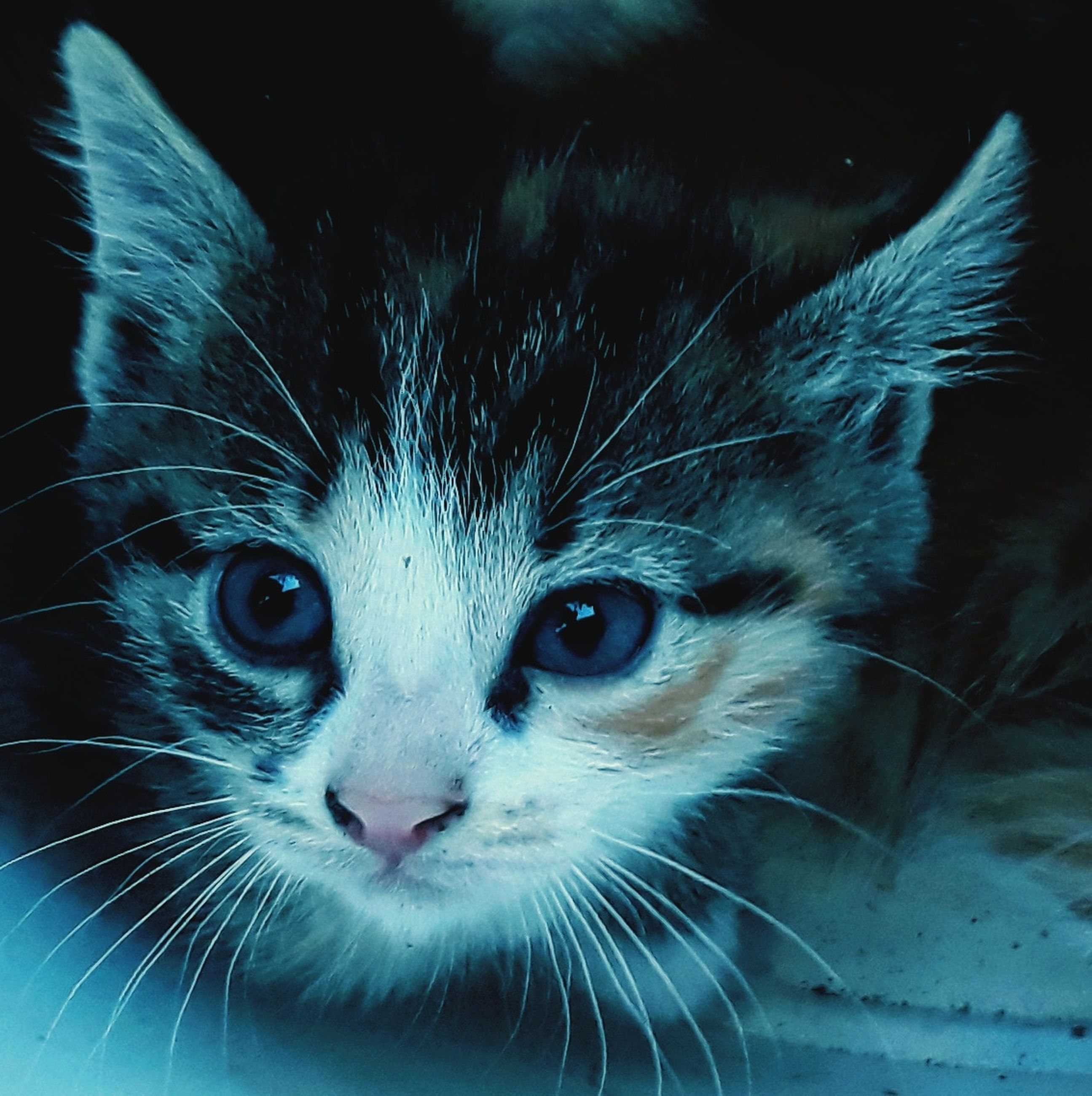 mammal, cat, domestic cat, one animal, animal, domestic, whisker, feline, pets, animal themes, domestic animals, portrait, looking at camera, close-up, animal body part, animal head, no people, vertebrate, focus on foreground, indoors, animal eye