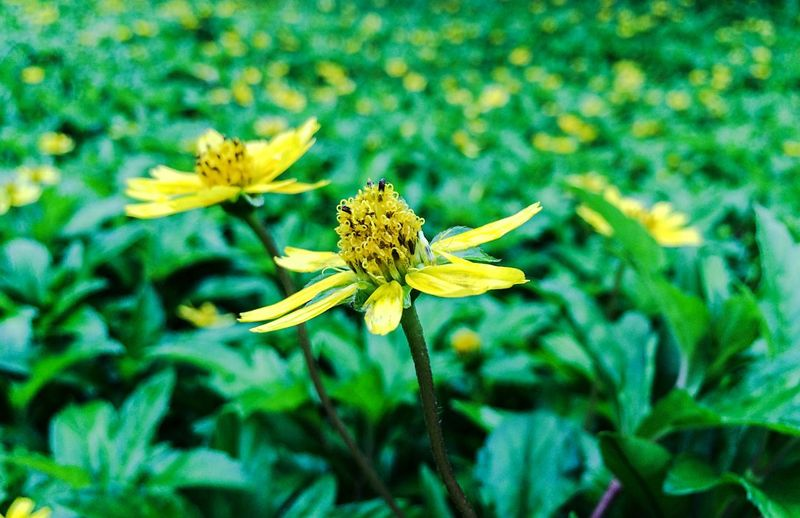 Flower Power Flowers Flower Collection Flowers,Plants & Garden Green Nature_collection Nature Natural Beauty flowerbeauty Hello World Beautiful Nature Mobile Photography Mobileclick IPhone Ravi Naturephotography Ravi_photography Yellow Flowers Yellow
