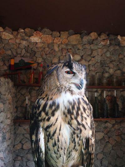 Owl Animal Themes Animal Vertebrate Bird One Animal Owl Bird Of Prey Indoors  Animal Wildlife Animals In The Wild Animals In Captivity