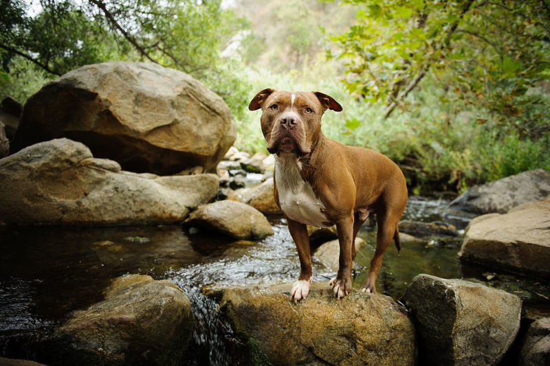 American Pit Bull Terrier dog outdoor portrait Horizontal Nature Pit Bull Animal Themes Brown Day Dog Domestic Animals Mammal Natural Ears Nature No People One Animal Outdoors Outside Pets Photograph Pit Bull Terrier Pitbull River Rock - Object Standing Terrier Uncropped Ears