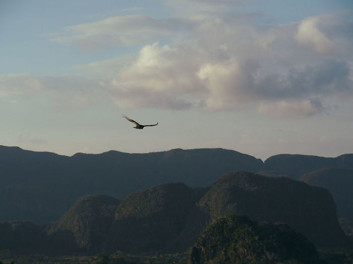 Eagle circling above the Vinales valley in Cuba Animal Wildlife Beauty In Nature Bird Cloudy Cuba Eagle Eagle - Bird Flying Green Landscape Limestone Mountain National Park Nature No People One Animal Scenics Sky Spread Wings UNESCO World Heritage Site Viñales