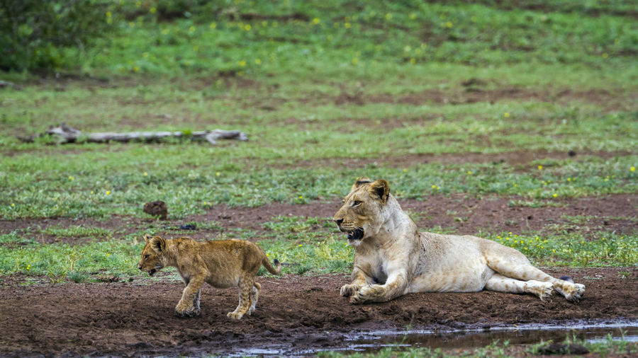 Lioness looking at cub on land