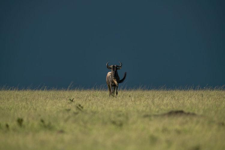 Blue wildebeest stands facing camera on horizon