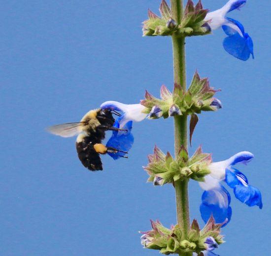 Bumblebee Pollenation Working Flower Blue Sky Summertime Summer Blue Wave Nature's Diversities The Essence Of Summer Fine Art Photography