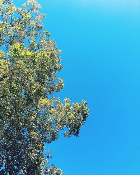 Nice Day Tree Blue Clear Sky Low Angle View Growth Branch Beauty In Nature Day Nature Green Single Tree Treetop Freshness No People Blue Sky Leaf Norway Fall