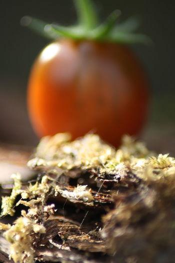 zontomaatje Tomaat Wazig Scherpte Diepte Natuur Totziensinstiens EyeEm Selects Scherptediepte Herfst Agriculture Grass Plant Fungus