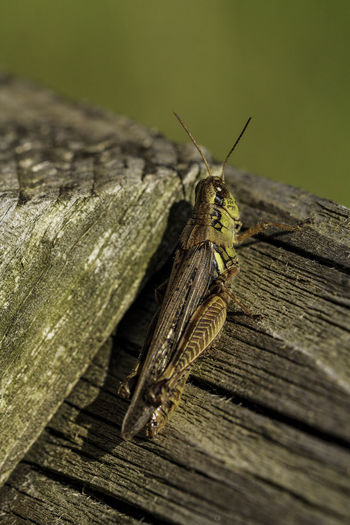Grasshopper resting on a wooden fence. Caerlifer Ensifera Animal Animal Antenna Animal Themes Animal Wildlife Animal Wing Animals In The Wild Close-up Entomology Focus On Foreground Hemimetabolous Insect Invertebrate Nature One Animal Orthoptera Outdoors Selective Focus Wood - Material Zoology
