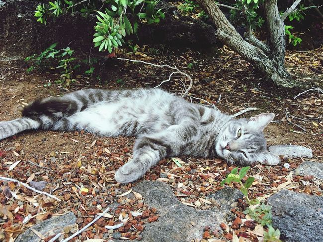 Schmusekatze Vacations Hawaii Mammal Animal Themes One Animal Animal Pets Vertebrate Domestic Animals Domestic Cat Feline Domestic Cat High Angle View Relaxation Lying Down Resting No People Day Field Nature