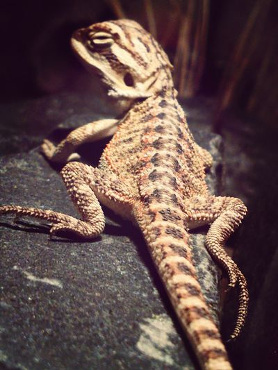 "1.0 Baby Pogona vitticeps ""sand fire"" Egzotic Pets Reptails My Best Animals Photos Food P."