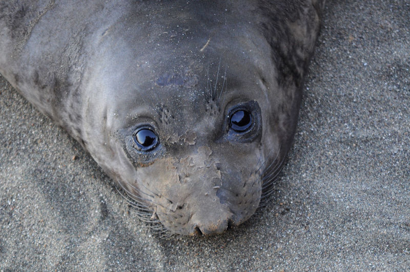 Close-up portrait of seal in sand