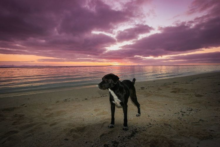 Dog on beach against sky during sunset