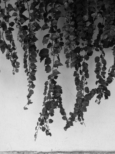 Hedera Helix Huawei P9 Leica Ink Fragility Freshness Nature Black & White Blackandwhite Walls Botanical Garden Botanical