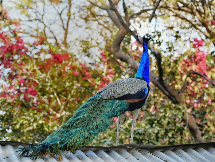 Peacock perching on a tree