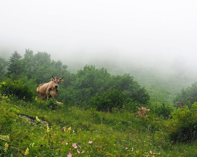 High Angle View Of Cows On Grassy Hill During Foggy Weather