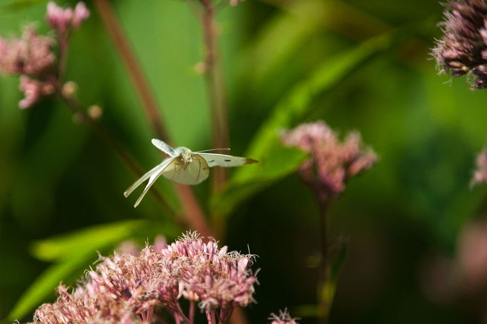 A cabbage moth looks for a suitable landing area. Capture The Moment Animal Themes Animal Wildlife Beauty In Nature Close-up Day Flight Flower Flower Head Flying Focus On Foreground Fragility Freshness Garden Garden Photography Insect Moth Nature One Animal Outdoors Plant Be. Ready.