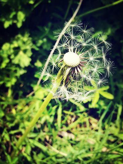 Nature Dandelions Baldy Green