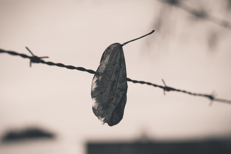 Leaf Black & White Black And White Black And White Leaf Blackandwhite Branch Close-up Fence Focus On Foreground Leaf Leaf In The Fence Leaf Vein Leaf Wallpaper Leaf 🍂 Leafs Leafs Photography Leafs 🍃 Leal Wallpaper Nature No People Outdoors Adapted To The City
