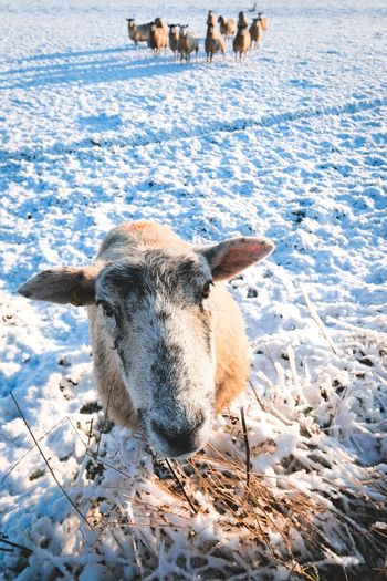 Portrait of a sheep on snow