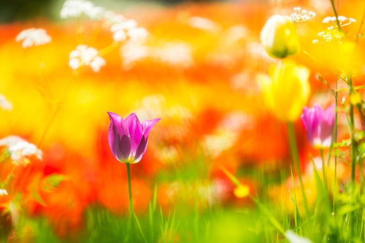 A single purple tulip in front of a huge tulip field. Beauty In Nature Blooming Close-up Crocus Day Flower Flower Head Fragility Freshness Grass Growth Multi Colored Nature No People Outdoors Petal Plant Purple Selective Focus Yellow