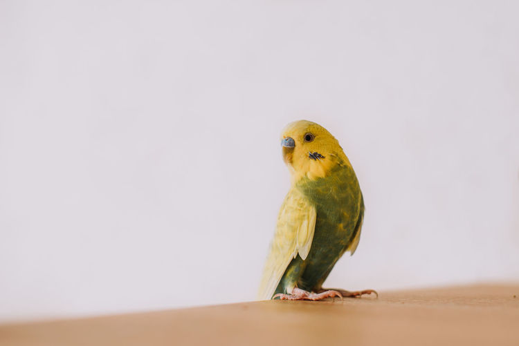 Close-up of parrot perching on white background