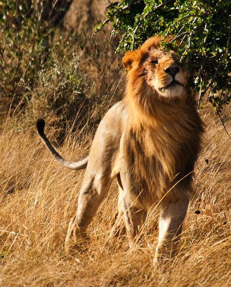 Kenya Africa Animal Animal Themes Animal Wildlife Animals In The Wild Big Cat Big Five Animals Day Lion - Feline Mammal Masai Mara National Park Nature No People One Animal Outdoors Plant Safari Safari Animals