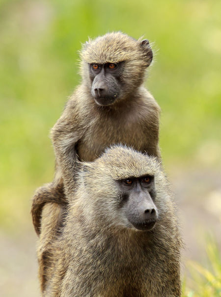 A juvenile olive baboon riding piggyback on its mother's back. The olive baboon, also called the Anubis baboon, is a member of the family Cercopithecidae. The species is the most wide-ranging of all baboons, being found in 25 countries throughout Africa, extending from Mali eastward to Ethiopia and Tanzania. Africa Animal Animal Family Animal Themes Animal Wildlife Animals Animals In The Wild Arusha Baboon Mammal Monkey Mother And Child Nature Nature Photography Olive Baboon Parenting Piggybackride Tanzania Togetherness Two Animals Wild Wildlife Wildlife & Nature Wildlife Photography Young Animal