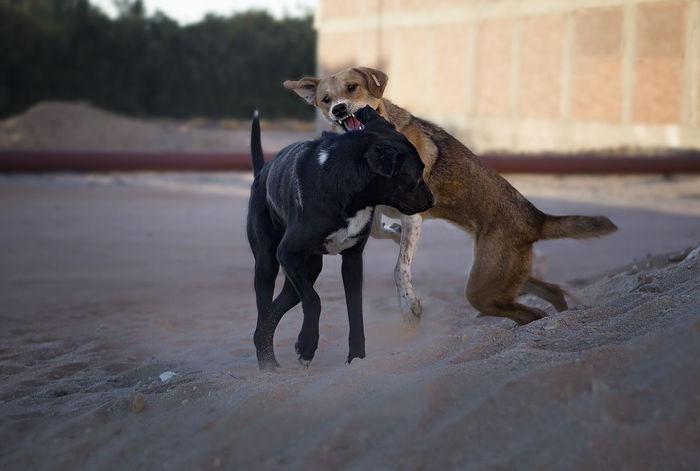 EyeEmNewHere Disagreements Animal Animal Themes Black Color Canine Day Disagreement Discusion Dog Dog Fight Domestic Domestic Animals Land Mammal Nature No People One Animal Pets Selective Focus Showing Who Is Boss Standing Two Dogs Disagreeing Two Dogs Fighting Two Stray Dogs Fighting Vertebrate Young Animal