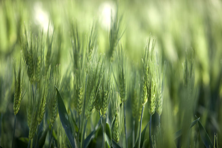 Close-up of barleys growing on field