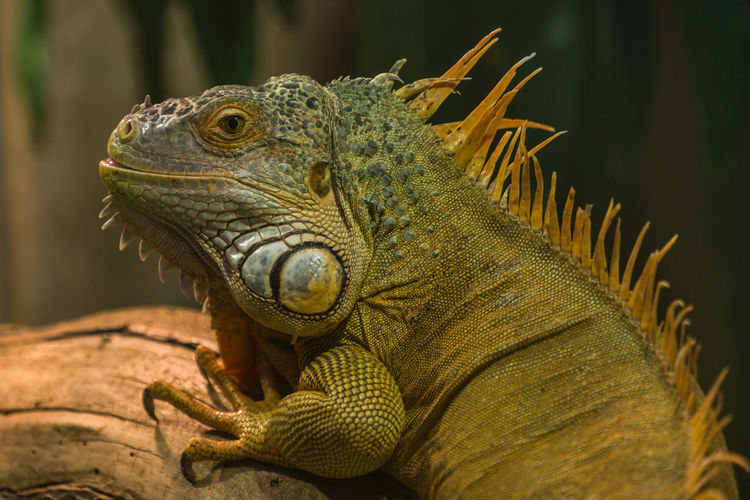 Animal Animal Body Part Animal Head  Animal Scale Animal Themes Animal Wildlife Animals In The Wild Bearded Dragon Close-up Day Focus On Foreground Iguana Lizard Looking Nature No People One Animal Outdoors Reptile Side View Vertebrate