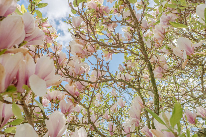 Magnolias Blooming Beauty In Nature Blossom Day Flower Growth Magnolias Nature No People Pink Color Plant Tree