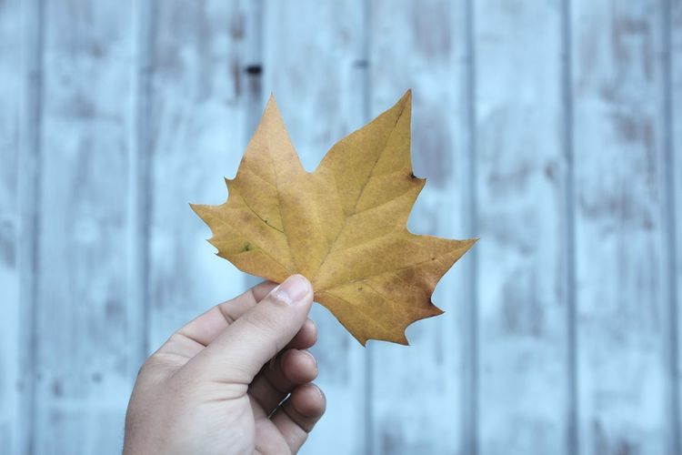 Cropped image of hand holding maple leaf against wooden wall