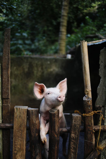 Pig Mammal Animal Animal Themes Wood - Material Domestic One Animal Domestic Animals Pets Boundary Barrier Vertebrate Fence No People Focus On Foreground Tree Day Nature Looking At Camera Livestock Wood Outdoors Animal Head  Herbivorous Philippines