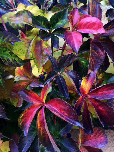 Automne Automne🍁🍂🍃 Autumn Leaves Beautiful Nature Beauty In Nature Botany Details Of Nature Flower Head Freshness Growth Leaf Like A Painting Magnifique Nature Red Leaves Virginia Creeper Ampelopsis