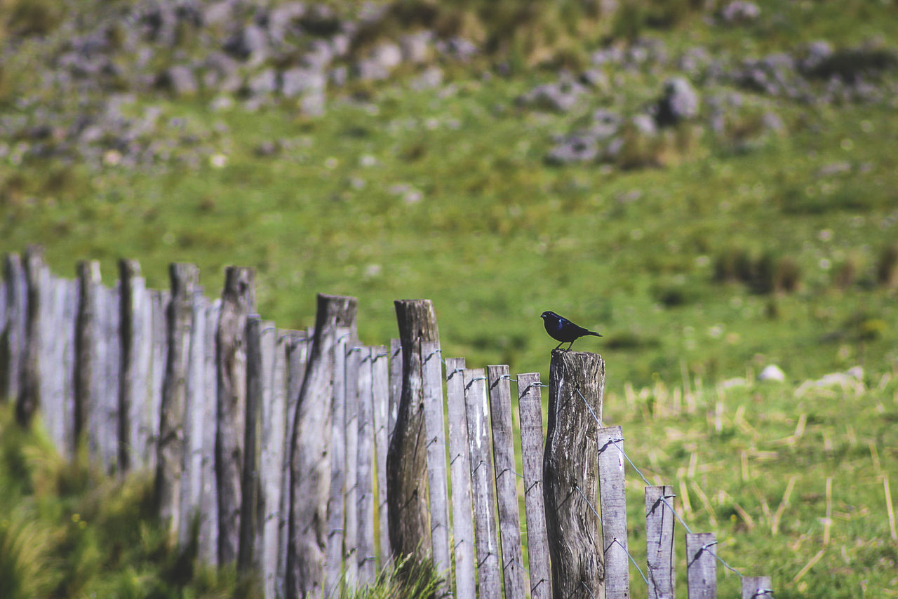 animal themes, animals in the wild, one animal, bird, perching, animal wildlife, outdoors, day, wooden post, no people, nature, wood - material, grass, beauty in nature, close-up