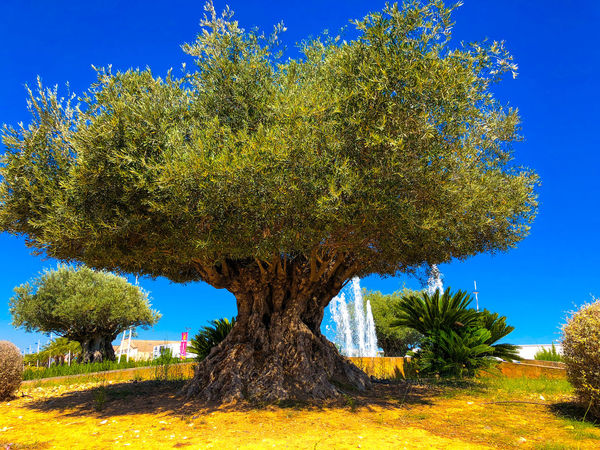 Hundreds of years in the making, old Olive tree, Denis, Alicante, Spain. Alicante, Spain Denia, Fountain Nature Beauty In Nature Blue Blue Sky Clear Sky Day Field Green Color Greenery Growth Land Nature No People Non-urban Scene Olive Tree Blue Sky Outdoors Plant Scenics - Nature Sky Sunlight Tranquil Scene Tranquility Tree Tree Trunk